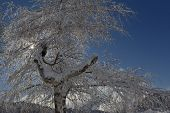 stock photo of diffraction  - Tree with snow backlit by the sun shining through the branches - JPG