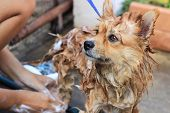 picture of washtub  - brown pomeranian take a shower standing portrait photo - JPG