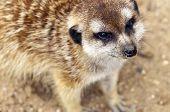 stock photo of meerkats  - A closeup of the head of a meerkat - JPG