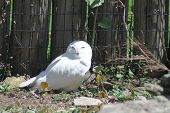 foto of snowy owl  - Snowy Owl (Bubo scandiacus) on the ground near a bush and fence The elusive snowy owl, rarely seen outside the Arctic, is turning up more frequently in the skies of North America - JPG