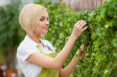 foto of apron  - Beautiful young woman in apron taking care of plants - JPG
