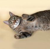 foto of yellow tabby  - Tabby nice cat lying on yellow background - JPG