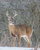 stock photo of deer rack  - Whitetail Deer Buck standing in a woods in winter snow - JPG