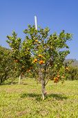 picture of orange-tree  - Closeup fresh orange on plant - JPG