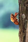 picture of exoskeleton  - cicada shell which leave on the tree - JPG