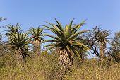 stock photo of wilder  - Aloe trees scattered over wilderness wildlife landscape - JPG
