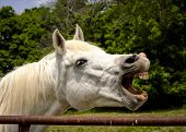 image of arabian horse  - White Arabian horse looking right with mouth wide open