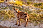 stock photo of hyenas  - Young hyena just come out from their hole in the early morning Masai Mara - JPG