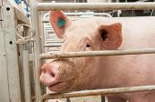 stock photo of pig-breeding  - Portrait of a big pig on a farm - JPG
