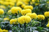 image of marigold  - Marigold blossom in the garden in Thailand - JPG