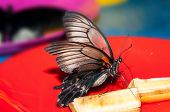 image of butterfly  - Butterfly Papilio Swallowtail butterflies are large colorful butterflies in the family Papilionidae - JPG
