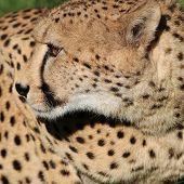 stock photo of cheetah  - Closeup of a Cheetah (Acinonyx jubatus) in South Africa ** Note: Shallow depth of field - JPG