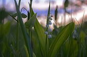 picture of day-lilies  - Blooming lily on the nature in the setting sun in the grass in the forest - JPG