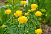 stock photo of globe  - Trollius. May flowering garden flowers. Globe flower or Trollius. ** Note: Shallow depth of field - JPG