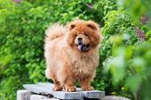 foto of chow-chow  - red chow chow dog outdoors in summer - JPG