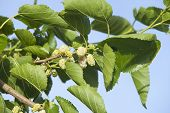 stock photo of mulberry  - Branch with mature white mulberry fruits and green leafs on springtime - JPG