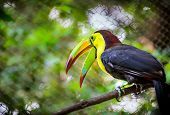 stock photo of toucan  - Close up of colorful keel - JPG