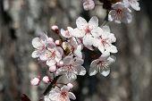 foto of white bark  - white cherry flowers in spring on tree bark background - JPG