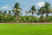 pic of plant species  - Rice fields mixtures of plant species with blue sky background - JPG