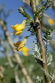 stock photo of mongolian  - The yellow flowers of a Mongolian Silver Spires at the arboretum in Moscow Idaho - JPG