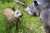 foto of lowlands  - Lowland tapir (Tapirus terrestris) mother and her daughter ** Note: Shallow depth of field - JPG