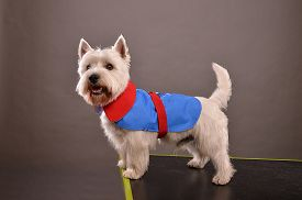 stock photo of westie  - Young Westie dog or West Highland Terrier standing on table in studio posing in red and blue jacket gray background - JPG