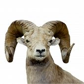 Bighorn Sheep Isolated
