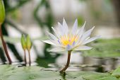 picture of water lily  - tropical single white water lily in middle of remote pond - JPG
