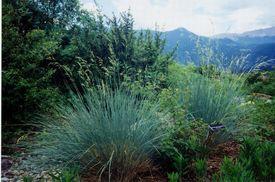 picture of fescue  - xeric grasses in garden - JPG