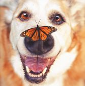 senior dog laying in the grass in a backyard smiling at the camera with a monarch butterfly on his n poster