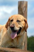 picture of wet pants  - Labrador Retriever pants and recuperates from retrieving at a lake in South Arkansas - JPG