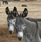picture of jack-ass  - Two donkeys standing together in a field - JPG