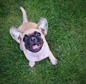 cute chihuahua pug mix puppy playing outside in fresh green grass poster