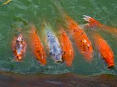The View Of Koi (fish) Feeding Frenzy In Pond
