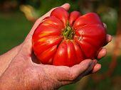 Domestic Tomato poster