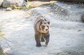 Brown And Black Bear At The Zoo. Animals Imprisoned In A Zoo For The Amusement Of Humans.sad Closed  poster