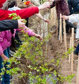 foto of peg-leg  - a group of students plant young trees in a yard - JPG