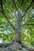 Large High Tall Old Oak Tree With Brown Huge Large Massive Trunk Body And Wide Branches In Vienna Pa poster