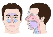 foto of transverse  - vector Anatomy of the nose and throat - JPG