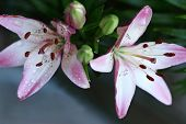 Beautiful Pink Asiatic Lily Njoyz Flower. Asiatic Lilies Are Created By Cross-pollination Of Differe poster