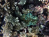 Blue, Yellow And White Striped Giant Clam, Tridacna Squamosa, Well Hid Among Corals Of The Acropora poster