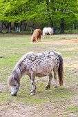 Cute Pony Grazing, Having In Background Other Ponies And Forest poster