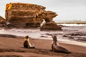 Galapagos Sea Lions on Galapagos Islands. Sea lion pup and adult at sunset on beach in Puerto Egas ( poster