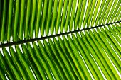 Green Leaf Coconut Palm Tropical Rainforest Tree poster