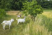 Three White Goats Pasturing On Forest Meadow poster