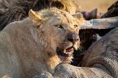 Angry And Hungry Lion Feed On The Carcass Of Dead Rhino poster