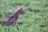 Lone Black Backed Jackal Pup Sitting In Short Green Grass Explore The World poster