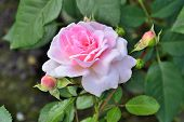 Single Gentle Pink Rose With Buds In The Garden Close Up On Blurred Green Leaves Natural Background. poster