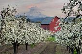image of red barn  - Red Barn in Pear Orchard in Hood River Oregon at Sunset - JPG
