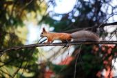 Cute Orange Furry Squirrel Walking On The Tree In The Park During Autumn Fall Season poster